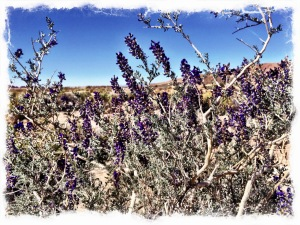 Desert sage in bloom.